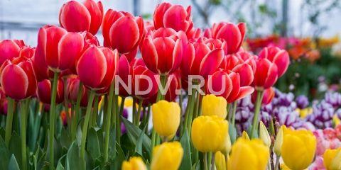 Много блинов, скоморохи и необычные тюльпаны